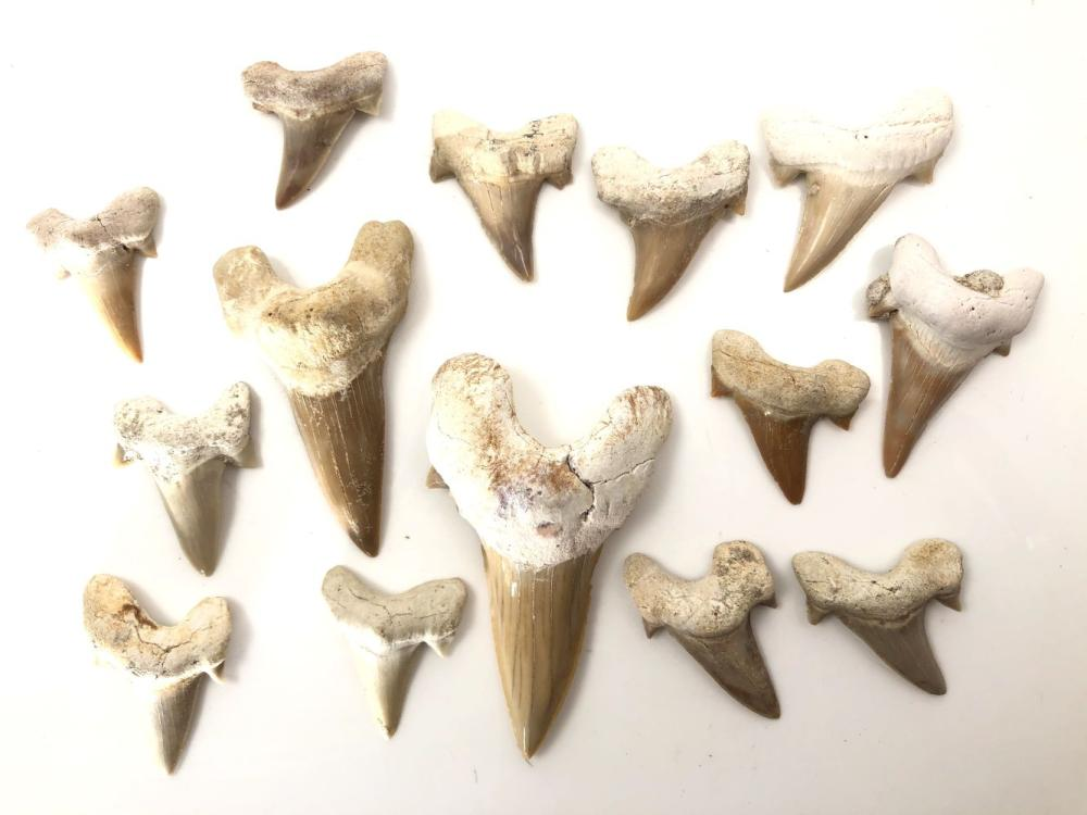 Grouping of 14 Fossilized Shark Teeth