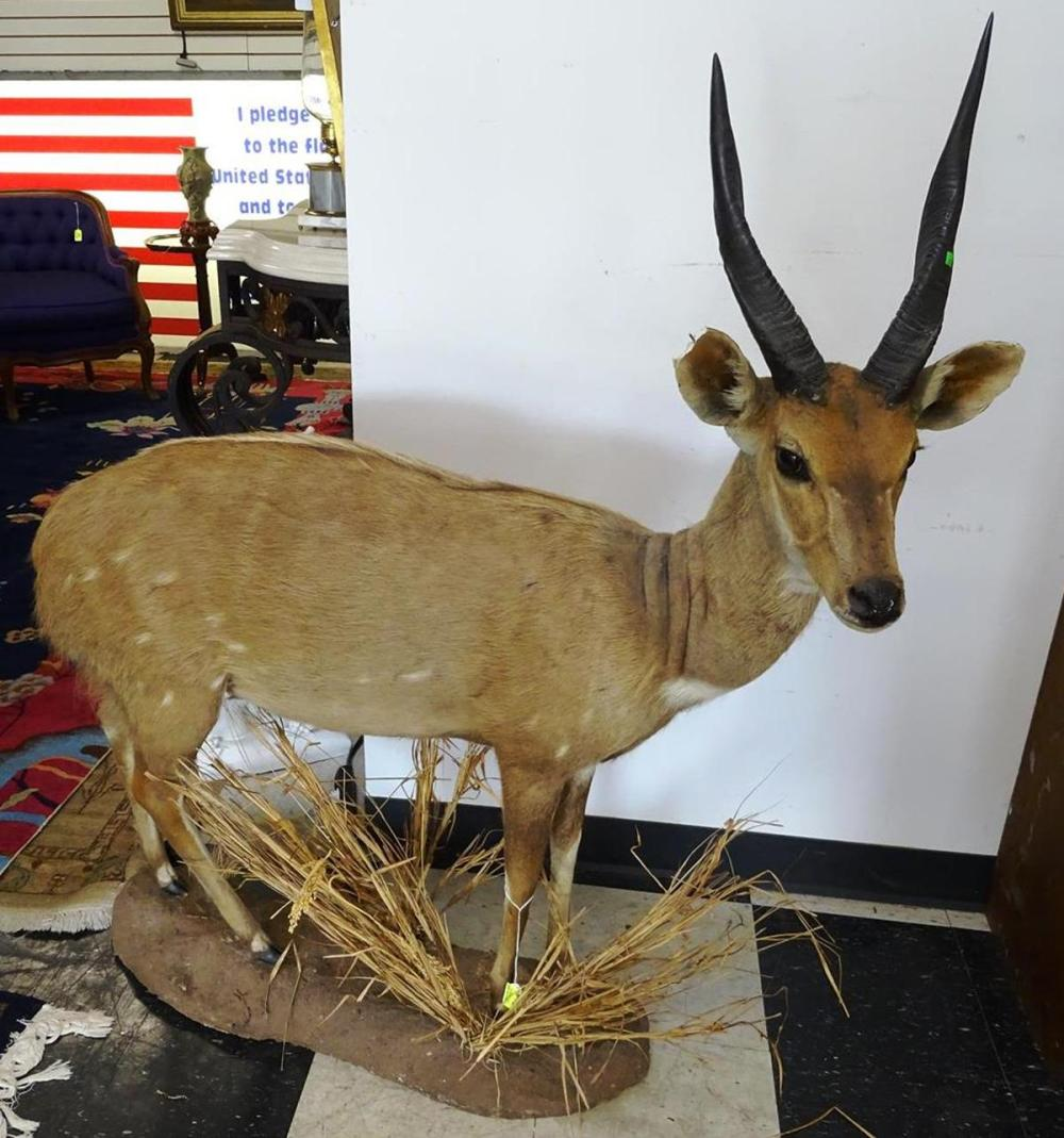 SOUTH AFRICAN BUSHBUCK TAXIDERMY