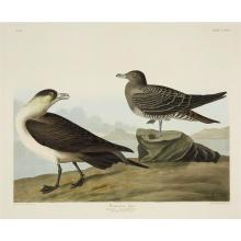1 Piece. Hand-colored Engraving with Aquatint and Etching. Havel, R. after Audubon, James J.