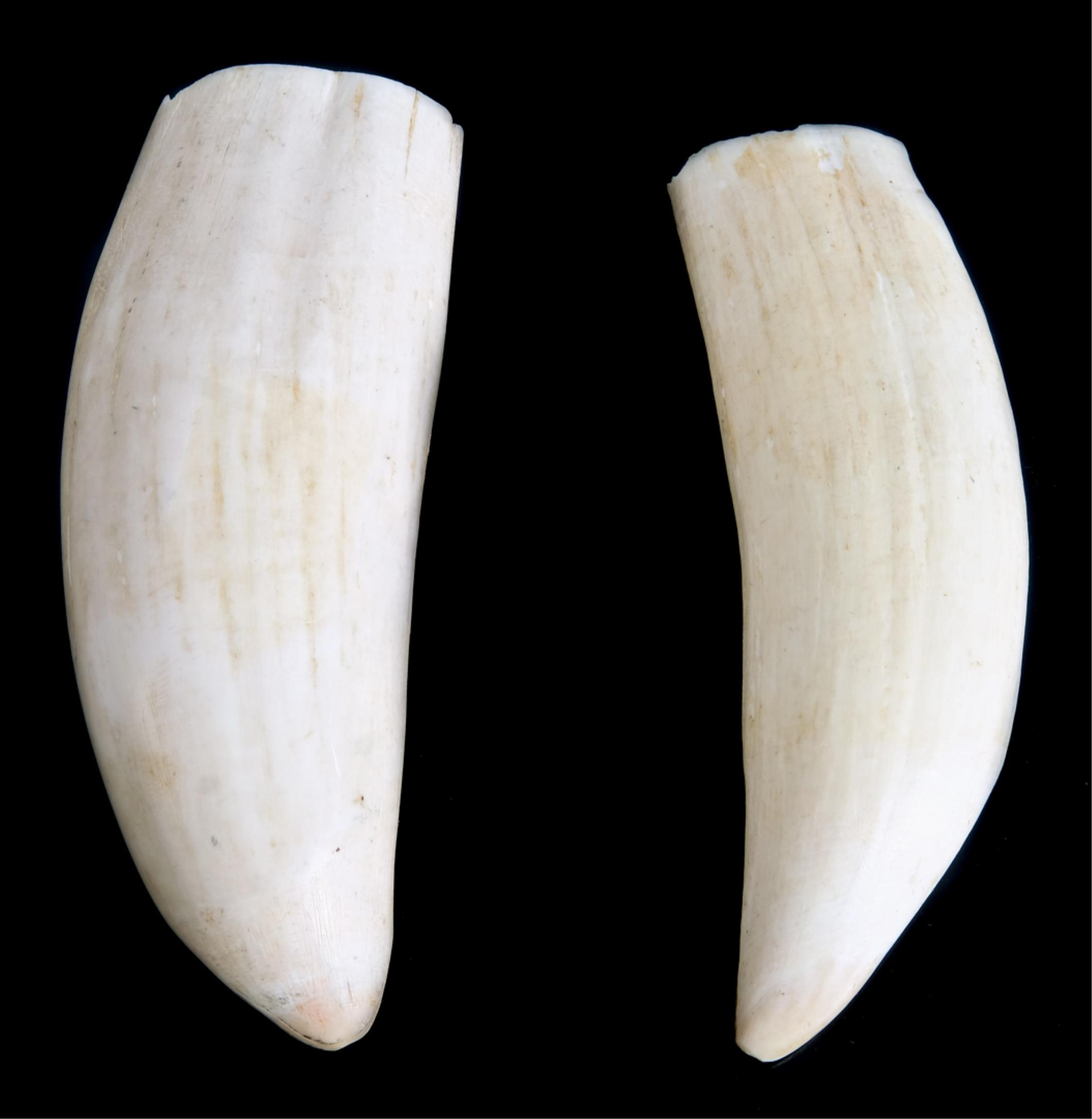 Two Sperm Whale Teeth