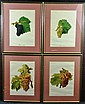 Antique French Grape Prints, 4 Pcs.