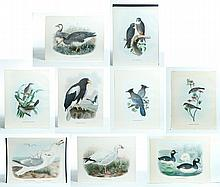 NINE BIRD PRINTS BY DANIEL ELLIOT (AMERICAN, 1835-1915).