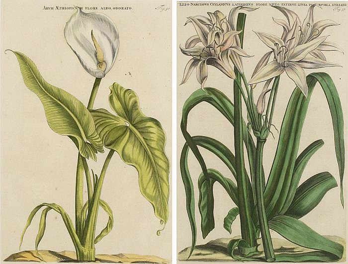 Two Hand Colored Engravings From Horti Medici Amstelodamensis by Jan Commelin (1626-1692) & Caspar Commelin (1667-1731),