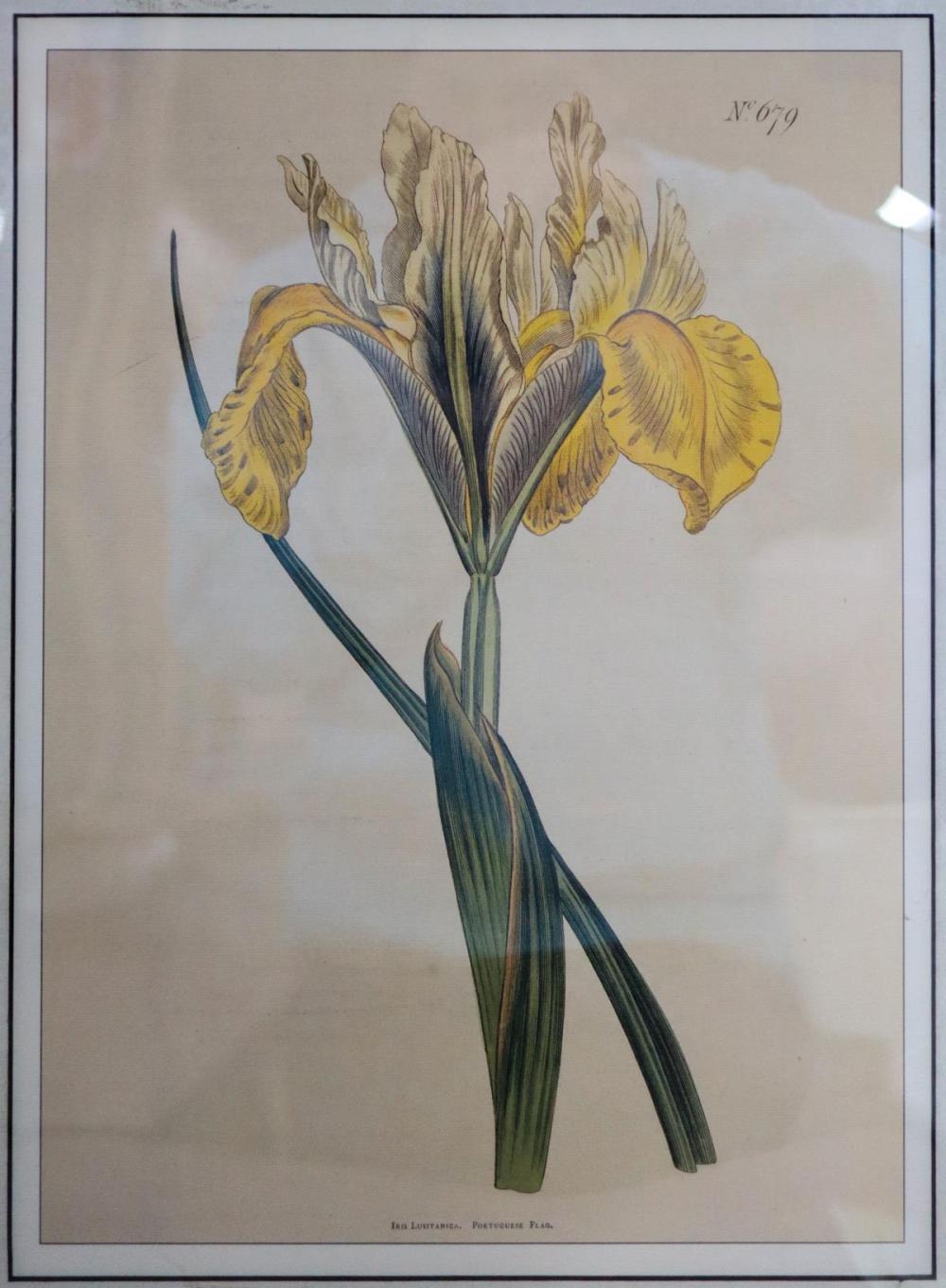 William Curtis - Yellow Iris