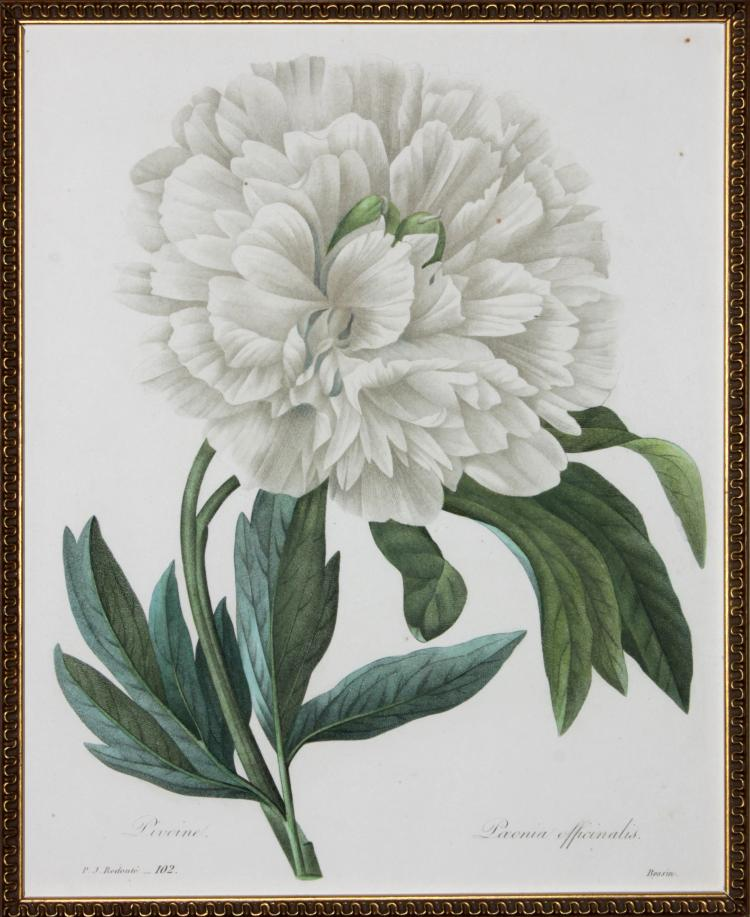 Offial Peony by Pierre Joseph Redoute