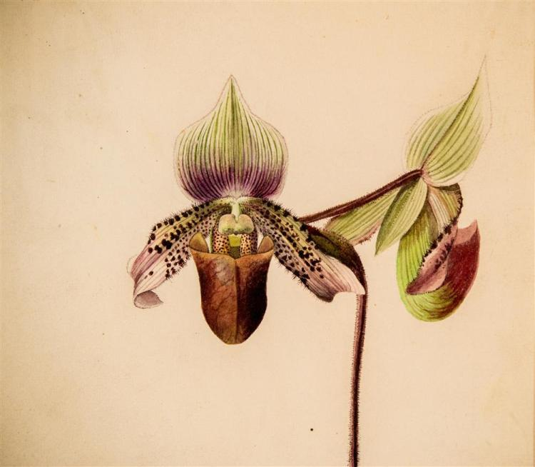 CHARLES STORER, (American, 1817-1907), LADY SLIPPER, 1888, pencil and watercolor on paper, sight: 12 3/4 x 9 3/4 (period frame: 23 x...