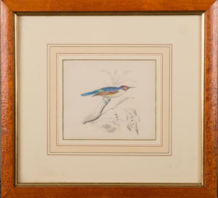 EDWIN WHITEFIELD, (American/English, 1816-1892), WHITE BODIED SUNBIRD, 1840, pencil and watercolor on paper, sight: 6 x 7 in., frame: 15 1/2 x 16 1/2 in.
