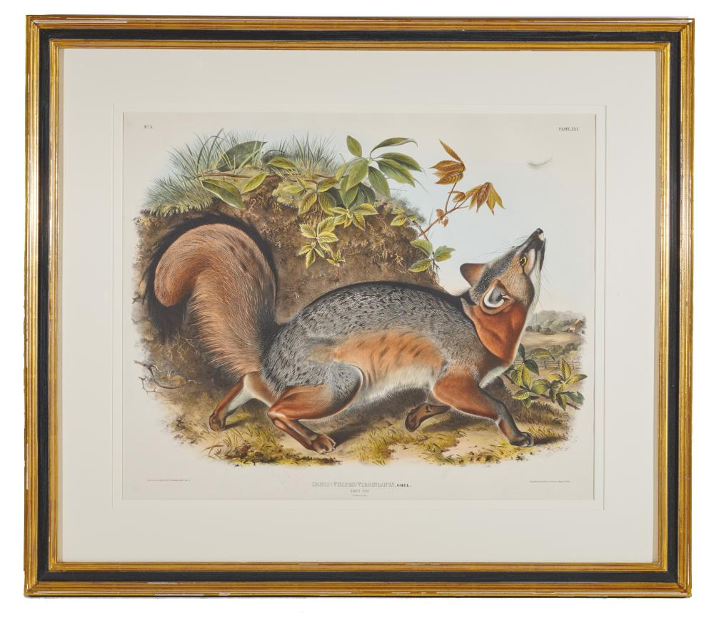 After JOHN JAMES AUDUBON, (American, 1785-1851), Grey Fox. Canis (Vulpes) Virginianus (Plate XXI), hand-colored lithograph, sight: 20 x 24 in., frame: 29 3/4 x 34 1/2 in.