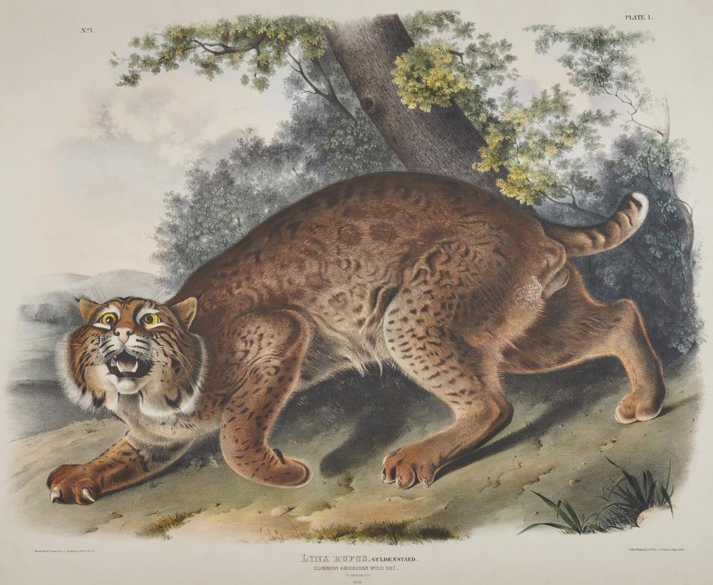 After JOHN JAMES AUDUBON, (American, 1785-1851), Common American Wild Cat. Lynx Rufus (Plate I), hand-colored lithograph, sight: 20 x 24 in., farme: 30 x 34 in.