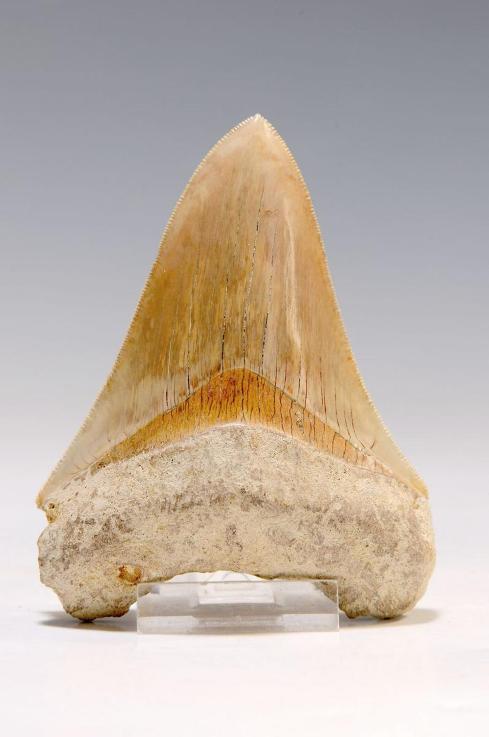 Megalodon big Shark Tooth, 'Carcharocles megalodon'