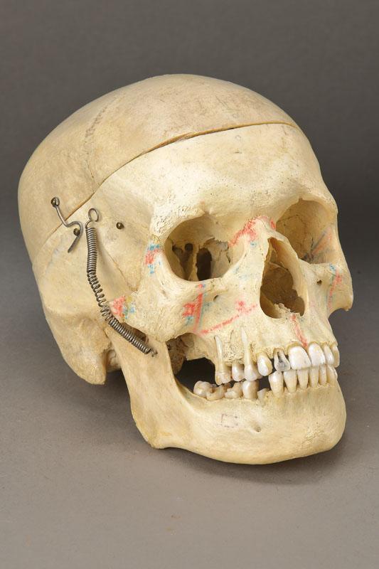 Demonstration skull