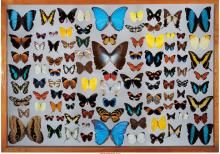 A Framed Butterfly Collection 25 x 35 inches (63.5 x 88.9 cm)  Various species P