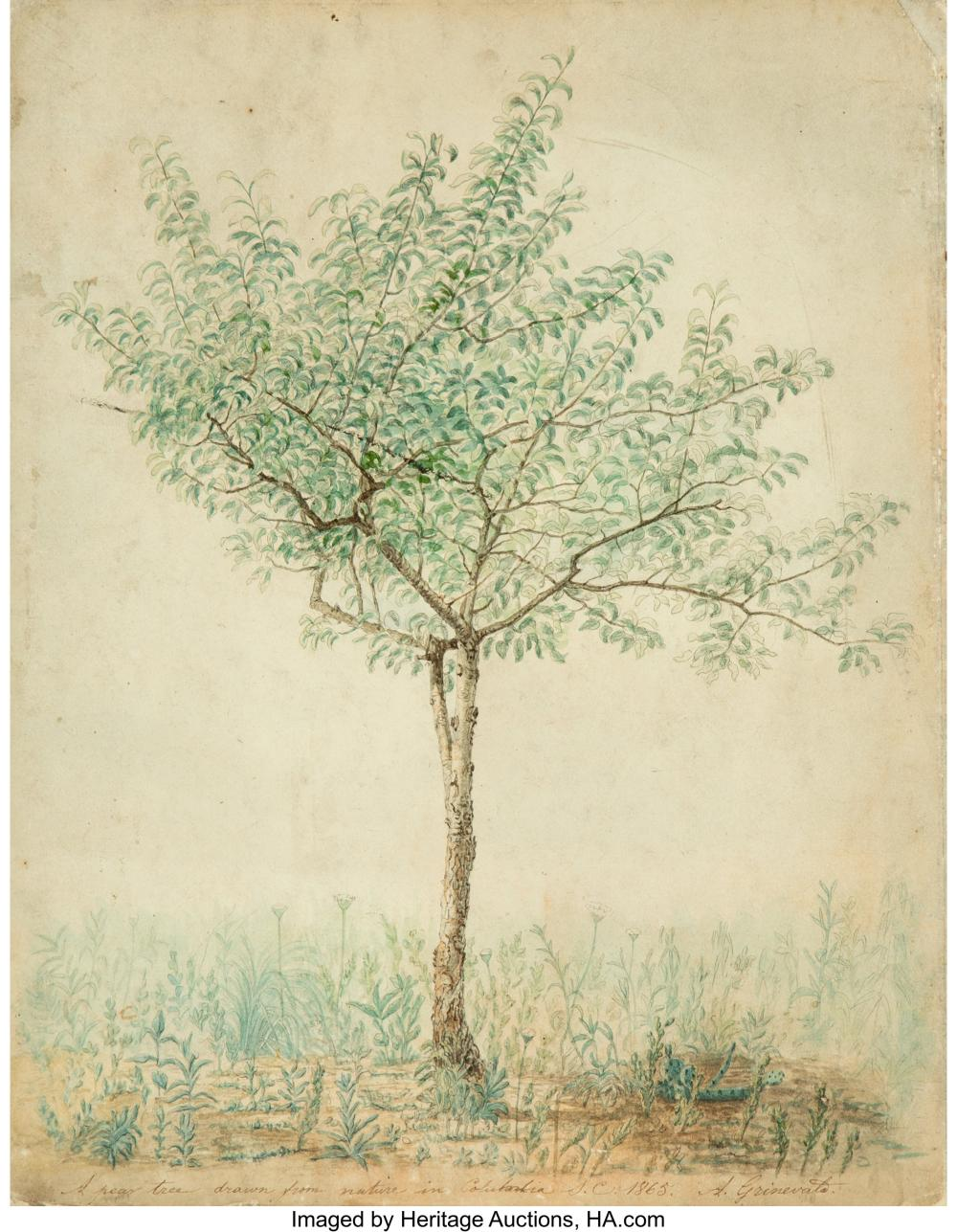 A. Grinevato (19th Century) A Pear Tree Drawn from Nature in Columbia, South Car
