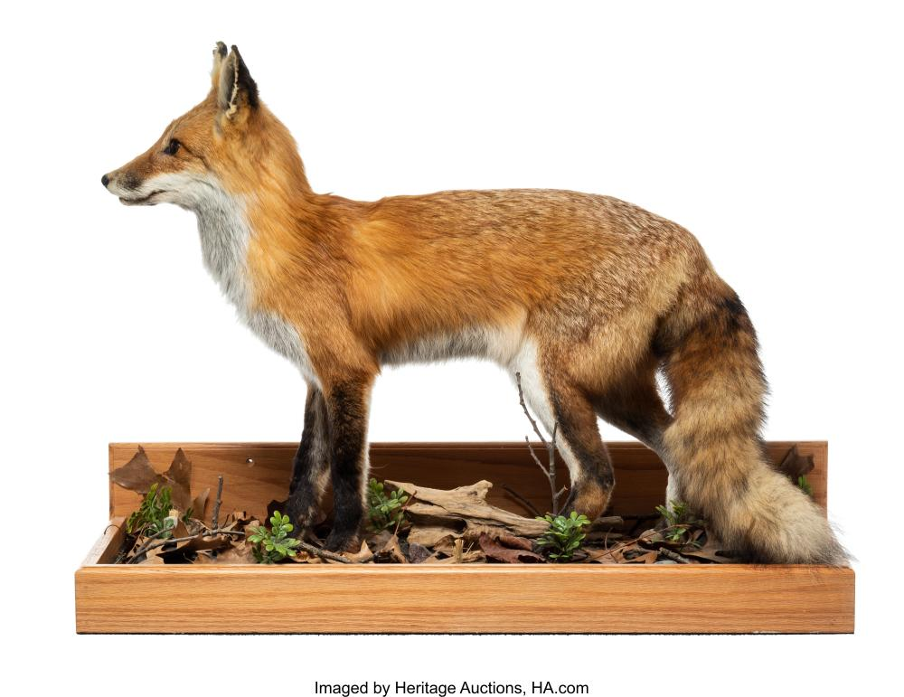 An American Red Fox Full-Body Mount 22-1/2 x 29-1/2 x 12-3/4 inches (57.2 x 74.9