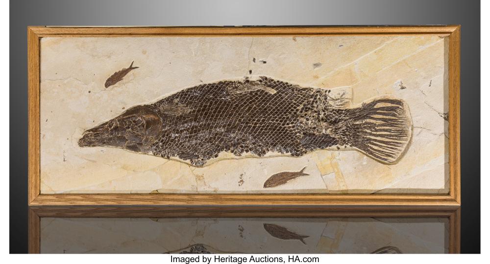 Lot 21312: Fossil Gar Fish Lepisosteus simplex Eocene Green River Formation Wyoming, USA
