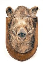 A HEAD AND CAPE MOUNT OF A WILD BOAR,