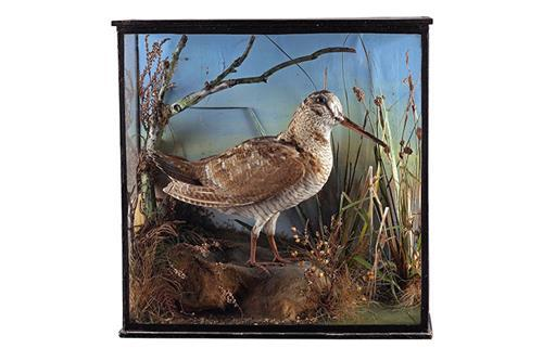 AN IMPRESSIVE CASED WOODCOCK SHOT BY H.R.H. KING EDWARD VII AT BISHOPS HALL, ESSEX IN 1905,