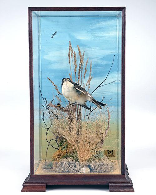 A CASED FULL-MOUNT OF A WOODCHAT SHRIKE,