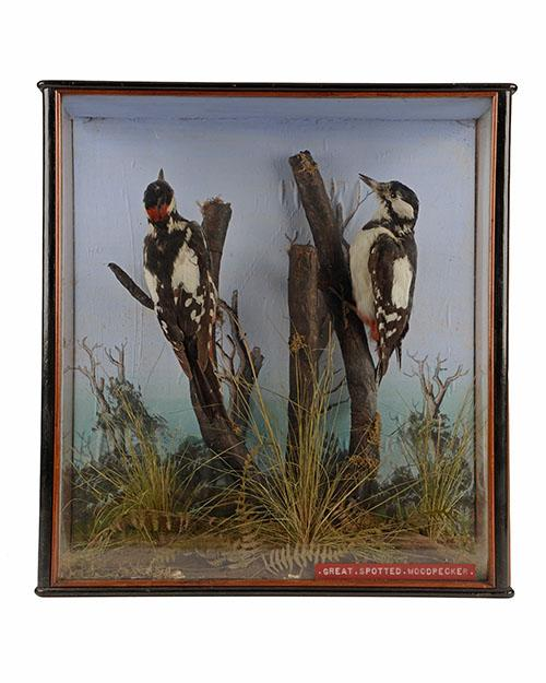 A VINTAGE CASED PAIR OF GREAT SPOTTED WOODPECKERS,