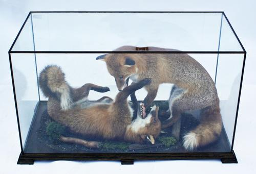 A CASED PAIR OF FULL-MOUNTED RED FOXES,