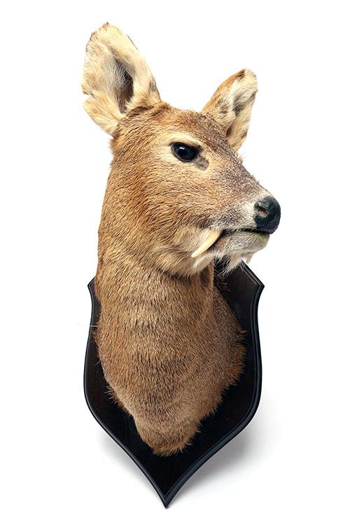 A HEAD AND CAPE-MOUNT OF A CHINESE WATER DEER