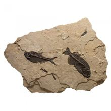 GREEN RIVER FISH FOSSIL MURAL - NATURAL FORM