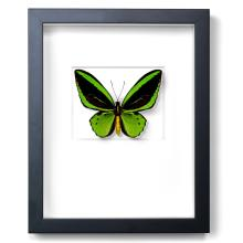 GREENS CAIRNS BIRDWING BUTTERFLY NATURAL SPECIMEN ART BY CHRISTOPHER MARLEY