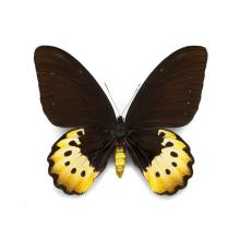 16 X 20 GOLIATH BIRDWING (FEMALE) NATURAL SPECIMEN ART BY CHRISTOPHER MARLEY