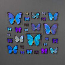 40 X 30 CERULEAN BUTTERFLIES ON GRAPHITE NATURAL SPECIMEN ART BY CHRISTOPHER MARLEY