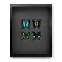 16 X 20 GLOSS SWALLOWTAILS ON GRAPHITE NATURAL SPECIMEN ART BY CHRISTOPHER MARLEY