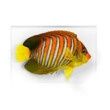 11 X 14 REGAL ANGELFISH NATURAL SPECIMEN ART BY CHRISTOPHER MARLEY