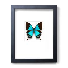 11 X 14 COBALT SWALLOWTAIL NATURAL SPECIMEN ART BY CHRISTOPHER MARLEY