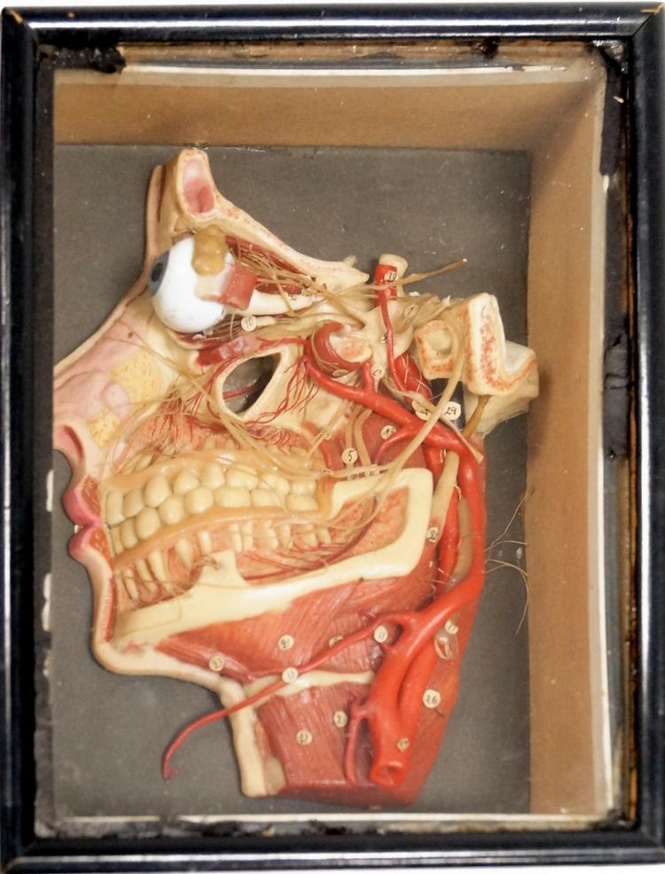 ANTIQUE GERMAN WAX MAXILLOFACIAL MEDICAL MODEL FEATURING NERVES, NECK, MUSCLES AND EYE, CASED. 9 X 7