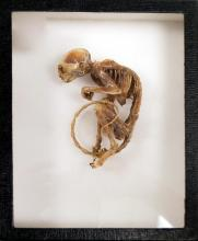 PIGMY MARMOSET SKELETON MOUNT WITH INTACT MUSCLE TISSUE. LENGTH 4