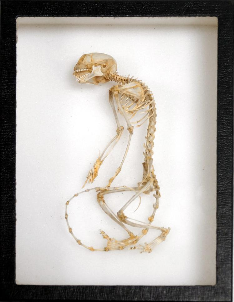 PIGMY MARMOSET SKELETON MOUNT. LENGTH 6