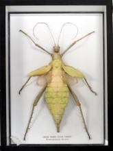 GREEN NYMPH STICK INSECT (HETEROPTERYX DILATA) MOUNT. LENGTH 8