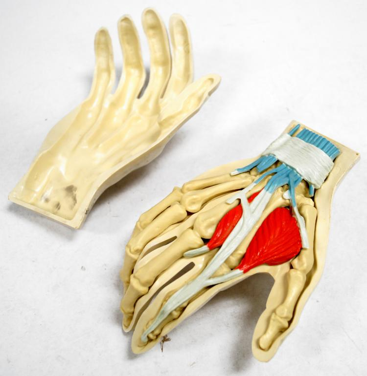 VINTAGE HUMAN ANATOMICAL HAND MODEL. LENGTH 7 1/2