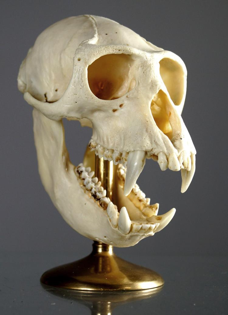 CRAB EATING MACAQUE MONKEY SKULL MOUNT (MACACA FACICULARIS). HEIGHT 5 1/2