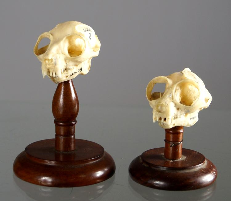 LOT (2) PROSIMIAN SKULL MOUNTS INCLUDING POTTO (MALE), HEIGHT 1 3/4