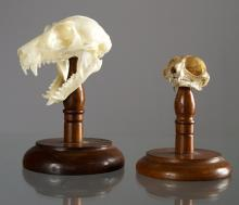 LOT (2) GALAGO PROSIMIAN GREATER AND LESSER SKULL MOUNTS. HEIGHT 1