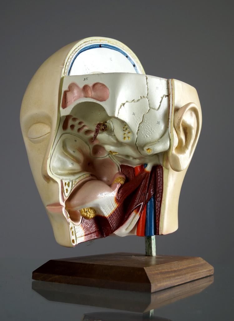 VINTAGE HUMAN ANATOMICAL HEAD/THROAT AND SINUS MODEL. HEIGHT 9 1/2