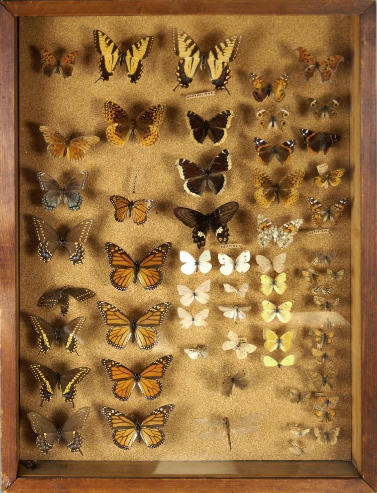 BUTTERFLY AND MOTH COLLECTION, CASED. 25 X 19
