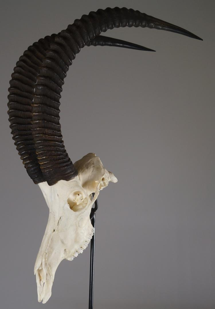 SABEL ANTELOPE SKULL MOUNT WITH STAND. SKULL/HEIGHT 34