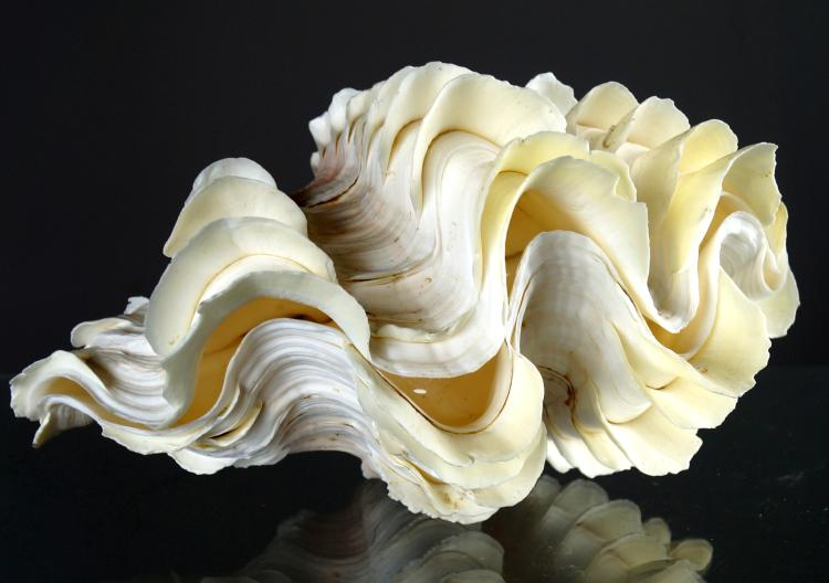 BABY GIANT CLAM SPECIMEN. HEIGHT 6