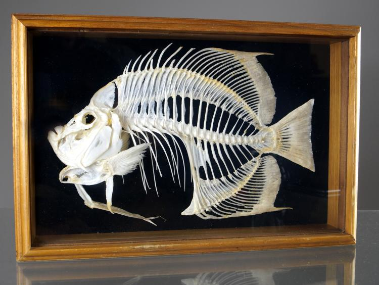 MUSEUM QUALITY BUTTERFLY FISH SKELETON MOUNT. FRAMED AND GLAZED-12 X 18