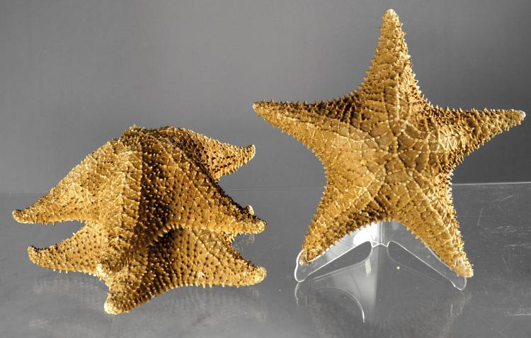 LOT (3) JUMBO BAHAMA STARFISH SPECIMENS. DIAMETER 12-13 1/2