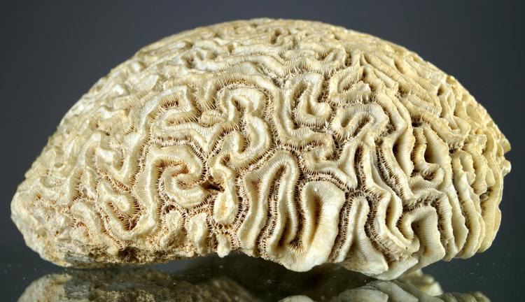 FINE COMPLETE BRAIN CORAL SPECIMEN (DIPLORIA SP). HEIGHT 4