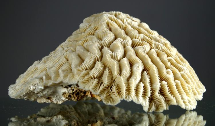FINE COMPLETE BRAIN CORAL SPECIMEN (DIPLORIA SP). HEIGHT 4 1/2