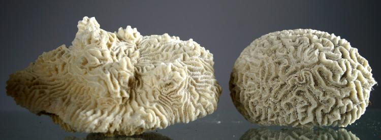 LOT (2) BRAIN CORAL SPECIMENS (DIPLORIA SP). HEIGHT 3 1/2