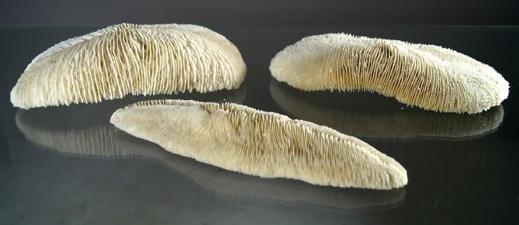 LOT (3) SLIPPER CORAL SPECIMENS (POLYPHILLIA SP). 9 1/2 X 2 1/2